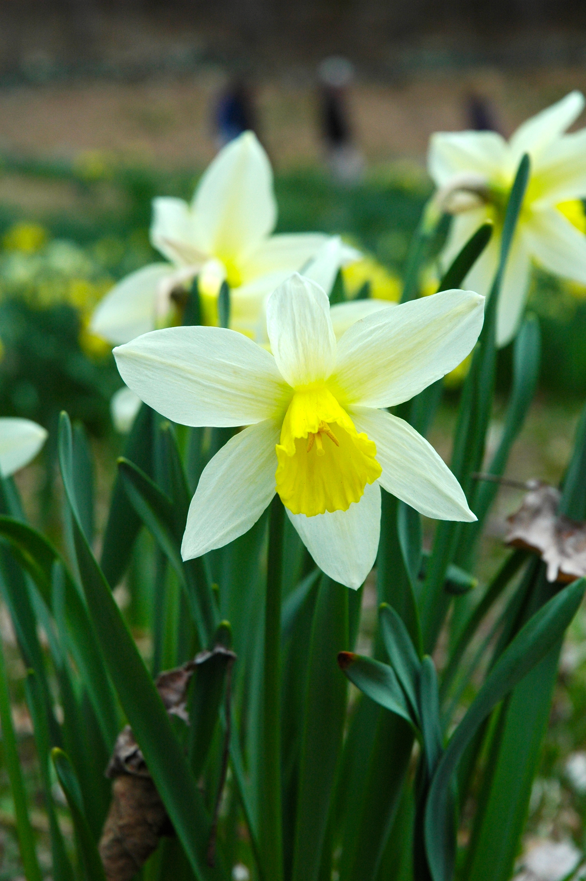 Daffodils: Wordsworth and I visit Laurel Ridge Foundation Narcissus Plantings in Litchfield, CT
