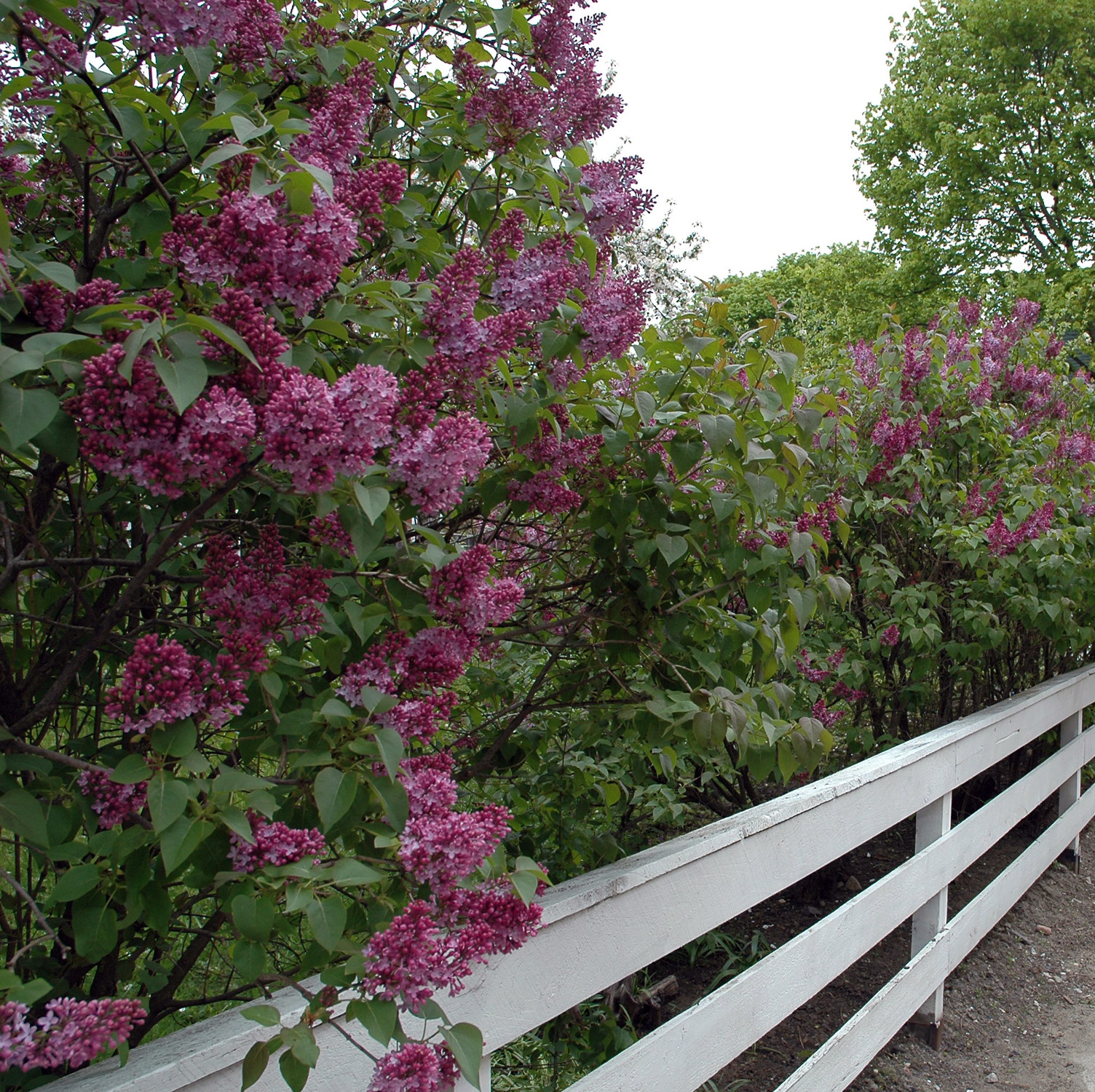 May is a Month for Flitting; Blame the Lilacs
